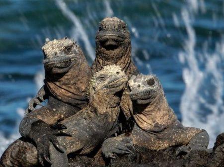 marine-iguana1.jpg